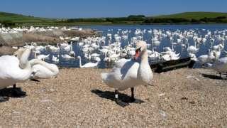 Abbotsbury Swanery