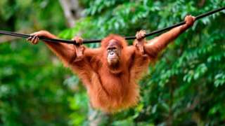 A young Sumatran orangutan
