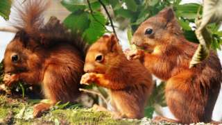 Baby red squirrels