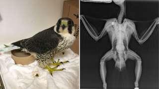 Peregrine falcon and its X-ray