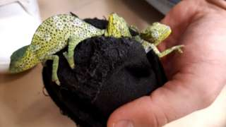 Image shows three chameleons hidden in socks