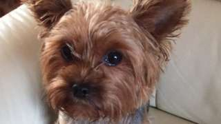Lacey the Yorkshire terrier