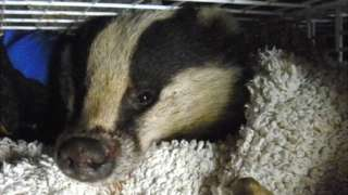 Injured badger