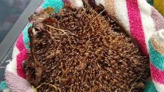 Injured hedgehog