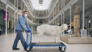 Dolly the Sheep being moved