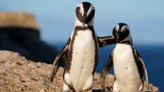 Pinguins africanos se abraçam em Boulders Beach, na Cidade do Cabo