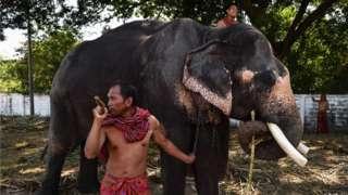 ช้างเลี้ยงถูกฝึกให้เชื่อง แต่ต้องถูกล่าม และถูกตะขอเหล็กแทง เพื่อให้ปฏิบัติตามมนุษย์