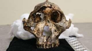 The two-million-year-old Parantropus robustus skull