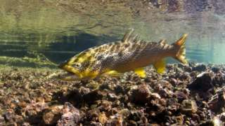 A brown trout swimming in a river