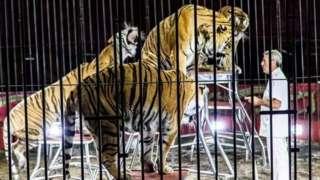 Ettore Weber training tigers