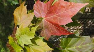 Acer at Westonbirt, The National Arboretum
