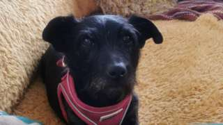 Lola the patterdale