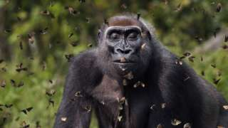 A photo of a gorilla closing its eyes as butterflies fly around it, in Central African Republic