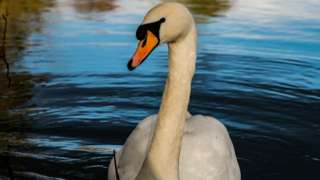A mute swan on the Thames at Clifton Hampden