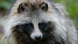 Raccoon dog in Sweden
