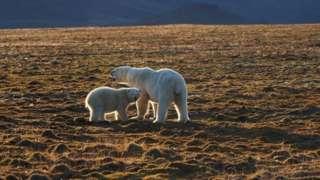 Ölen kutup ayısının annesi ve yavrusu