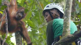 An orphan orangutan climbs high in the treetops with his caregiver