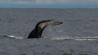鲸鱼的尾巴