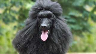 Royal poodle - file pic