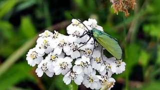 Forester moth