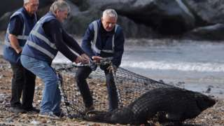 Members of Friends of Horsey Seals netting a seal
