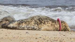 The seal Mrs Pink Frisbee