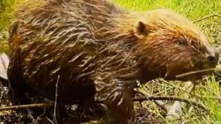 An adult beaver at Wild Ken Hill.