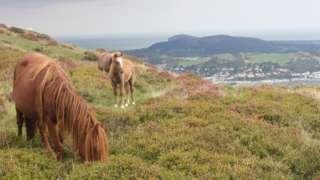 Merlod y Carneddau ar Fynydd y Dref, Conwy