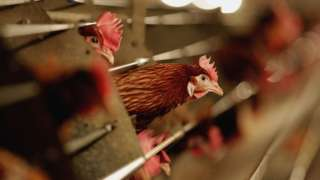 Battery hens sit in a chicken shed