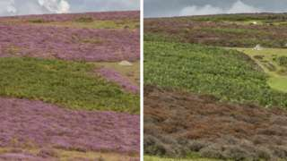 The normally purple heather blooms purple, but has been turned brown
