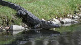An alligator pictured getting into water at golf event in April 2018