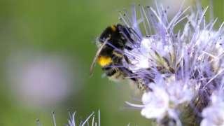 Bee on Phacelia, Dingley Dell