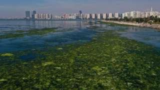 """İzmir'in Karşıyaka ilçesindeki Bostanlı semtinde kıyıya yakın noktalar, """"deniz marulu"""" adı verilen yosun türü nedeniyle yeşile büründü"""