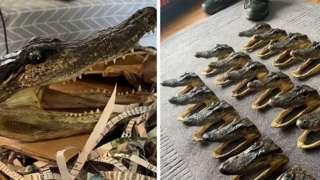The seized aligator heads