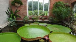 Giant water lily in Belfast's Botanic Gardens