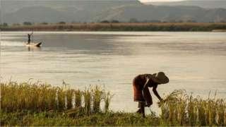 馬達加斯加是一個大熔爐,那裏既種植非洲稻米,也種植亞洲稻米。