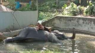 gajah, srilanka