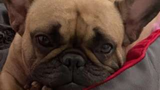 Coco the French bulldog close-up