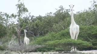 Girafas brancas