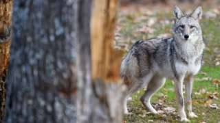 A coyote stands in the animal park of Sainte-Croix on November 22, 2018, in Rhodes, eastern France
