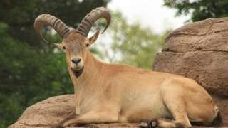 West Cacuasian Tur Mountain-Dwelling Goat-Antelope