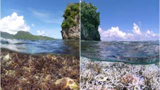 Coral bleaching event (right) in American Samoa (Image courtesy of The Ocean Agency)