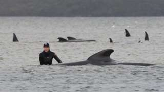 A rescuer stands waist deep in water next to a stranded whale