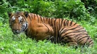 वाघ, वाघीण, प्राणी, जंगलं, पर्यावरण