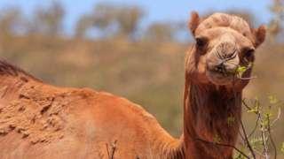 A feral camel in Australia