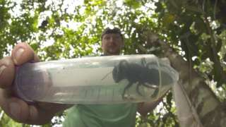 A single female Wallace's giant bee was found