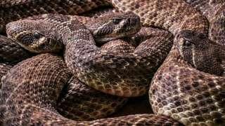 diamond back rattlesnakes