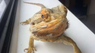 One of the bearded dragons