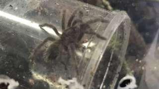 Baby Brazilian bird-eating spider