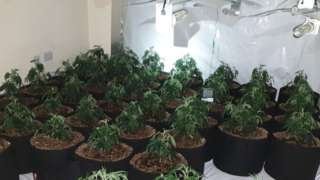 Cannabis plants at the discovered farm
